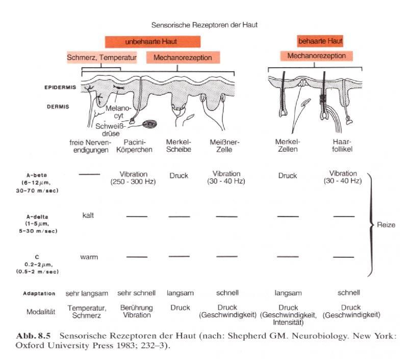 sensorische-rezeptoren-